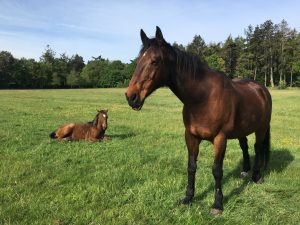 Photo of Pollyanna's 2 horses that receive acupressure regularly.  One large bay stood in field with young yearling lying on ground nearby.